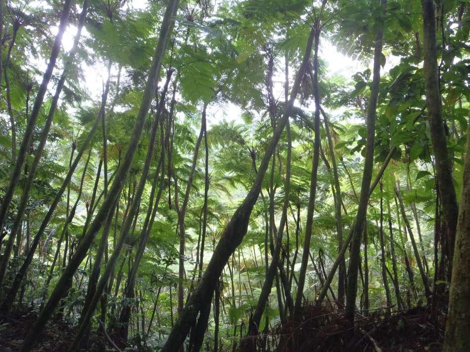 Dominica | Baumfarnwald am Segment 7 des WKT | © Tamarind Tree Hotel