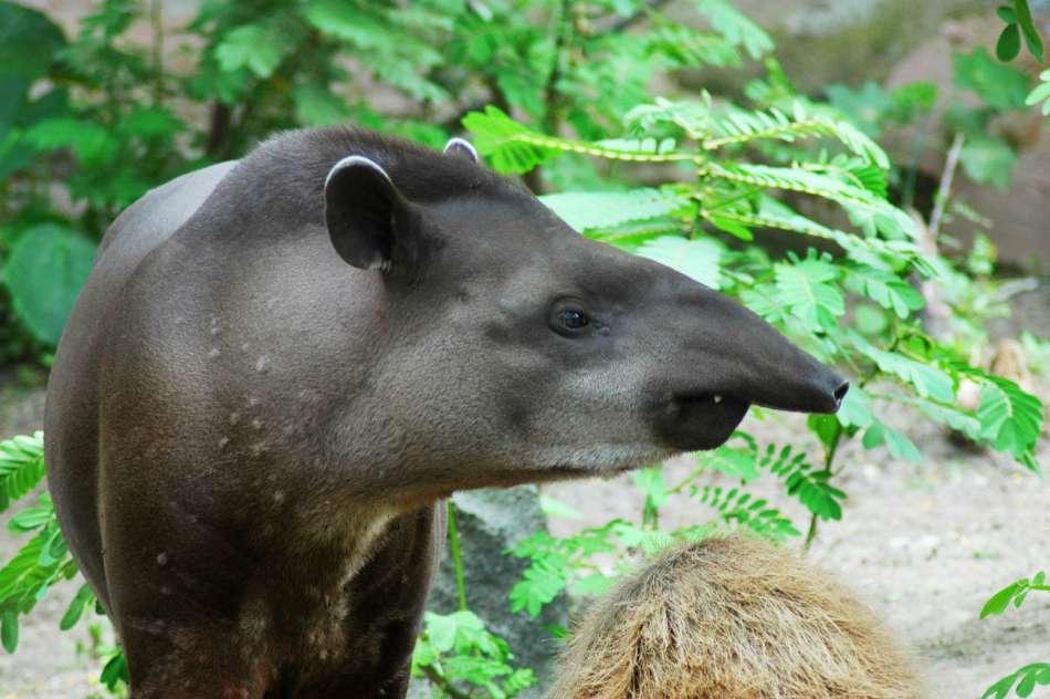 Ecuador | Tapir | © Advantage Travel Ecuador