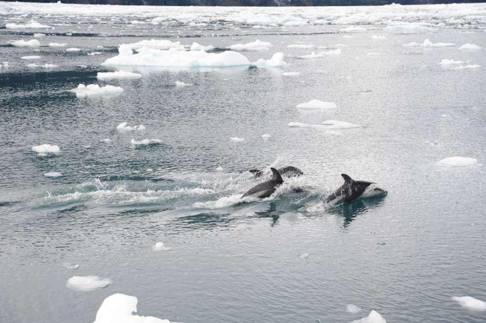 Chile | Delfine am Alsina Gletscher - Route Kaweskar | © Tourismo Skorpios